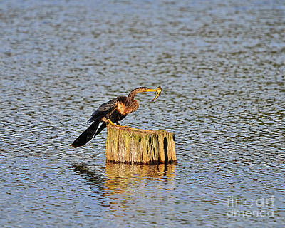 Anhinga Photograph - American Anhinga Angler by Al Powell Photography USA