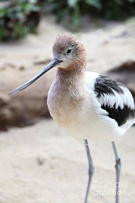 American Avocet 5d24830 Print by Wingsdomain Art and Photography