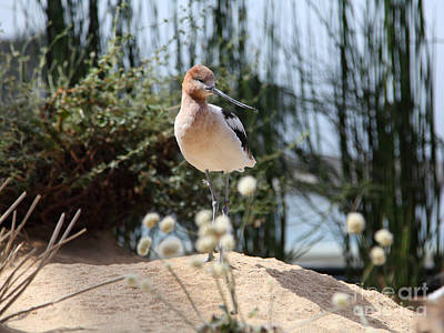 American Avocet 5d25095 Print by Wingsdomain Art and Photography