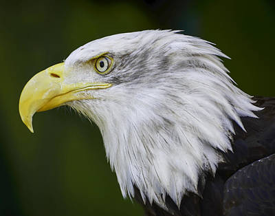 American Bald Eagle Original by Chris Malone