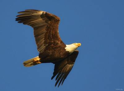 American Bald Eagle Close-ups Over Santa Rosa Sound With Blue Skies Print by Jeff at JSJ Photography