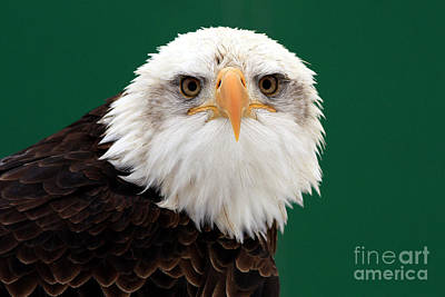 Shelley Myke Photograph - American Bald Eagle On The Look Out by Inspired Nature Photography Fine Art Photography