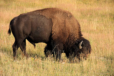 American Bison Print by Aidan Moran