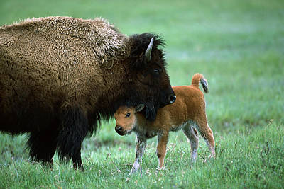 American Bison And Calf Yellowstone Np Print by Suzi Eszterhas