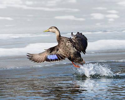 Ducks In Flight Photograph - American Black Duck by Bill Wakeley