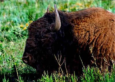 American Buffalo Yellowstone Painting Print by Bob and Nadine Johnston