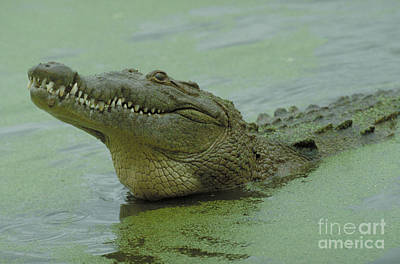 Crocodile Photograph - American Crocodile by Raymond Cramm