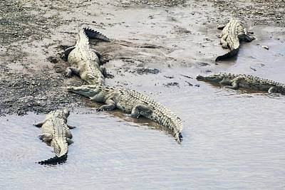 Crocodile Photograph - American Crocodiles (crocodylus Acutus) by Photostock-israel