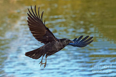 American Crow Photograph - American Crow Flying Over Water by Anthony Mercieca