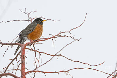 American Robin Photograph - American Female Robin by James BO  Insogna