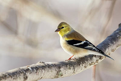 American Goldfinch Print by Bill Wakeley