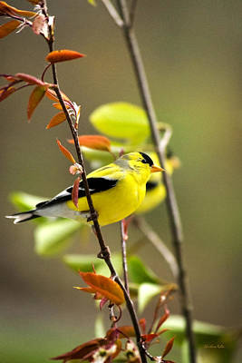 American Goldfinch-2 Print by Christina Rollo