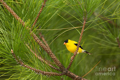Northwoods Photograph - American Goldfinch Carduelis Tristis by Linda Freshwaters Arndt