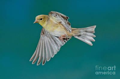 American Goldfinch Hen In Flight Print by Anthony Mercieca