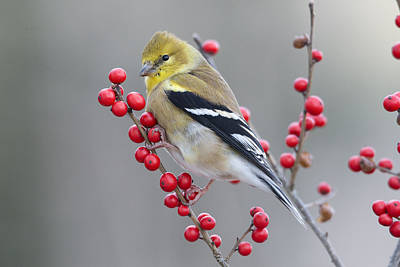 American Goldfinch In Winter Print by Scott Leslie