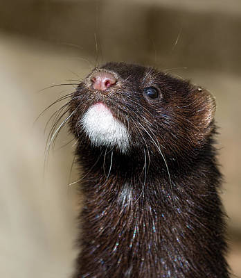 American Mink In The Uk Print by Mr Bennett Kent