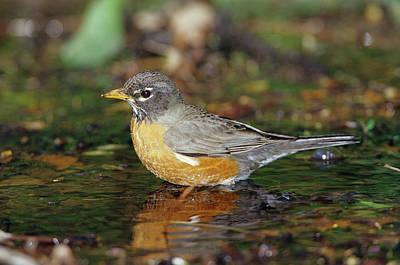 Robin Photograph - American Robin (turdis Migratorius by Richard and Susan Day