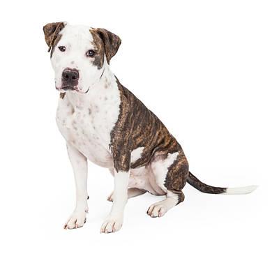 American Staffordshire Terrier Cross Dog Sitting Print by Susan  Schmitz