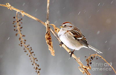 Sparrow Photograph - American Tree Sparrow by Larry West