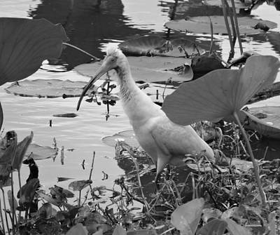 American White Ibis Black And White Print by Dan Sproul