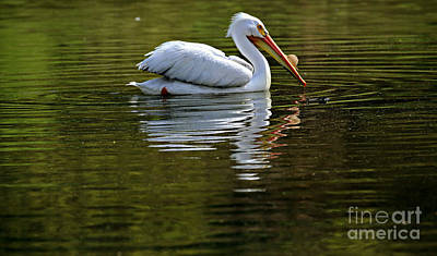 American White Pelican Print by Elizabeth Winter