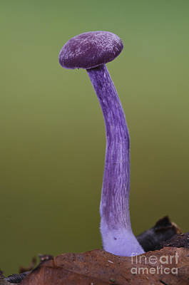 Agaricales Photograph - Amethyst Deceiver by Dave Pressland/FLPA