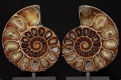 Ammonite Photograph - Ammonite Polished Cross Section by Dirk Wiersma
