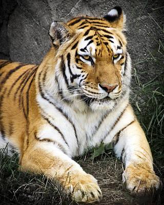 Amur Tiger Print by Adam Romanowicz