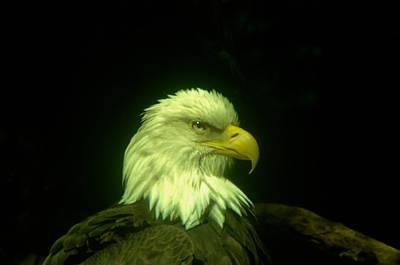 An Eagle Portrait Print by Jeff Swan
