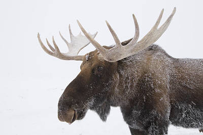 An Elk Cervus Canadensis With Snow Print by Doug Lindstrand