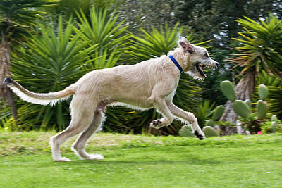 Irish Wolfhound Photograph - An Irish Wolfhound Puppy Running by Zandria Muench Beraldo