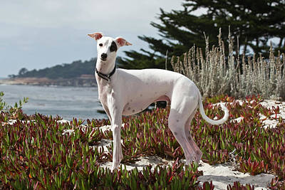 Greyhound Photograph - An Italian Greyhound Standing by Zandria Muench Beraldo