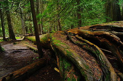 An Old Growth Tree  Print by Jeff Swan
