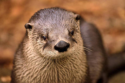 An Otter Portrait Print by Joshua McCullough