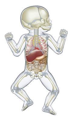 Anatomy Of Human Newborn Baby Print by Dorling Kindersley/uig
