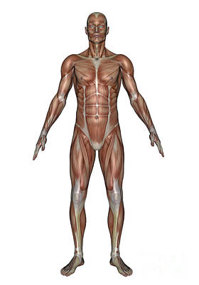 Rectus Abdominis Digital Art - Anatomy Of Male Muscular System, Front by Elena Duvernay