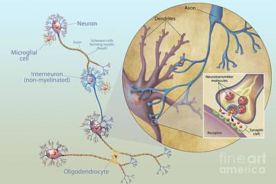 Bipolar Digital Art - Anatomy Of Neurons by Carlyn Iverson
