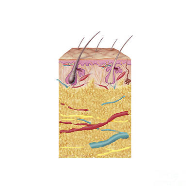 Anatomy Of The Human Skin Print by Carlyn Iverson