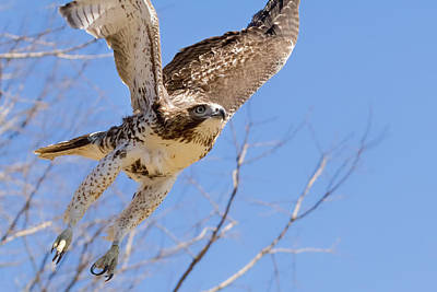 Red Tail Hawk Photograph - And Away I Go by Bill Wakeley