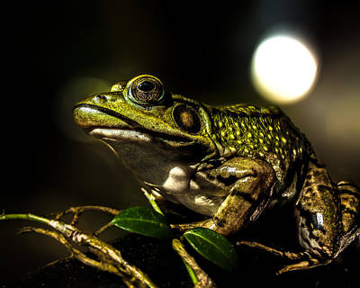 Bullfrogs Photograph - And This Frog Can Sing by Bob Orsillo