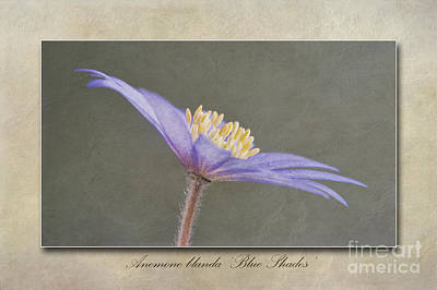 Anemone Blanda Blue Shades Print by John Edwards