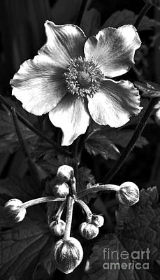 Neurotic Images Photograph - Anemone Bw by Chalet Roome-Rigdon