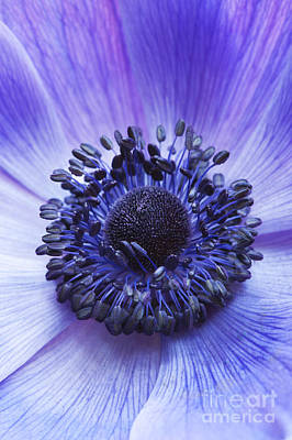 Anemone Coronaria Print by Tim Gainey