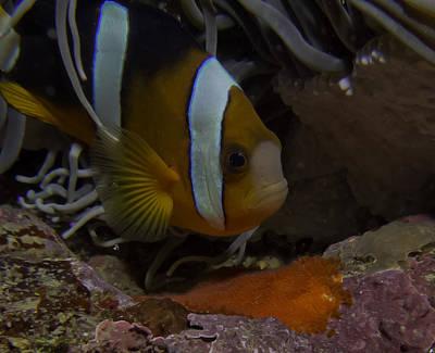 Clarks Anemonefish Photograph - Anemone Fish Guarding Eggs by Gary Hughes