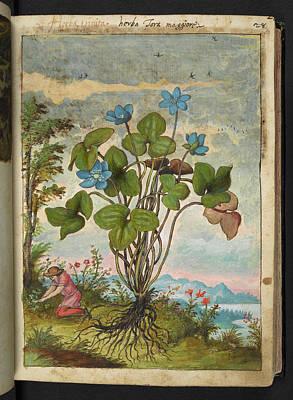 Hepatica Photograph - Anemone Hepatica by British Library