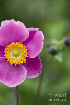 Abundance Photograph - Anemone by Tim Gainey