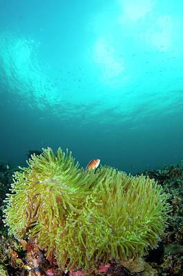 Anemonefish In Clear Calm Water Print by Scubazoo
