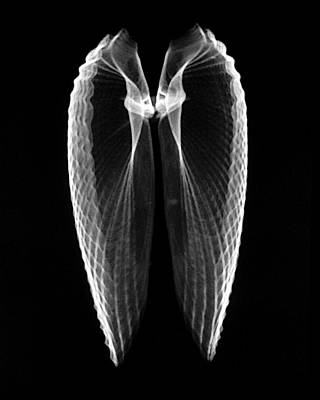 Angel Wings Xray Print by William A Conklin