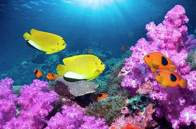 Angelfish And Anemonefish On A Reef Print by Georgette Douwma