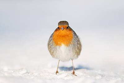 Coastal Birds Photograph - Angry Bird _ Robin In The Snow by Roeselien Raimond